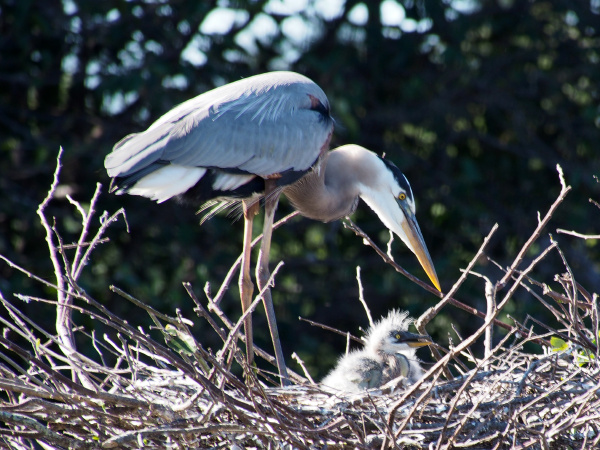great blue heron watchling over babies
