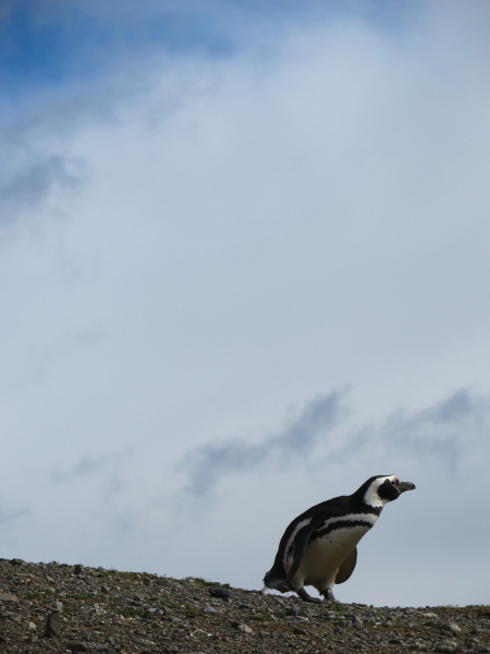 magellanic penguin isla magdalena 2013