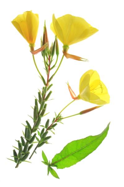 common evening primrose oenothera biennis