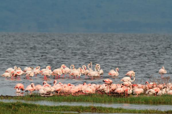 flamingos on lake nakuru