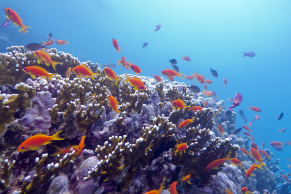coral reef with hard corals and