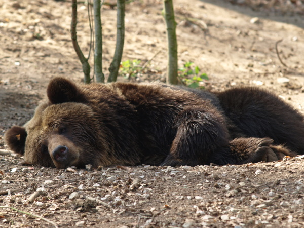 relaxed brown bear