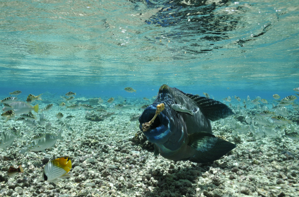 napoleonfish eats bones
