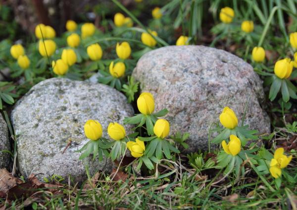 yellow erantis spring flower in garden