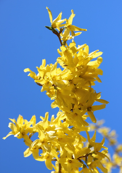 yellow broom flower branch in springtime