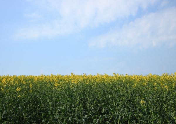 rape field at springtime with blue