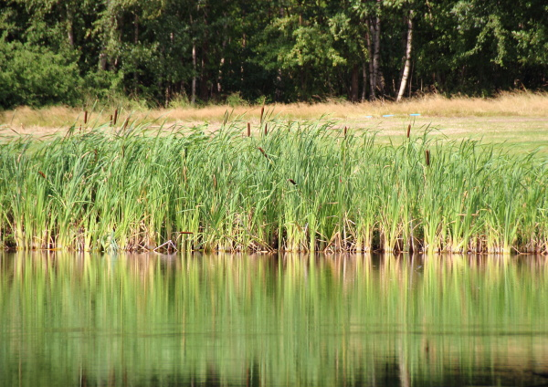 reed reflection in lake with field