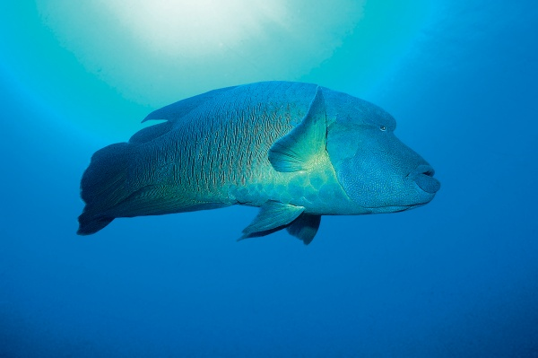 napoleonfish red sea blue diving encounter