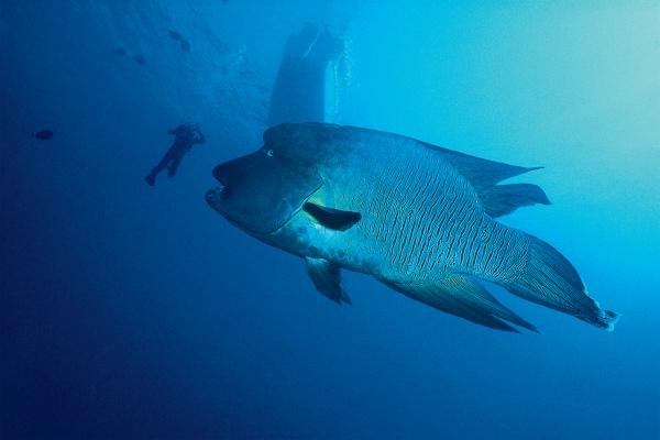 diving napoleonfish lippfish red sea blue