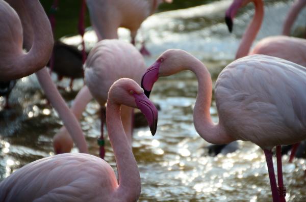 flamingos in zoo