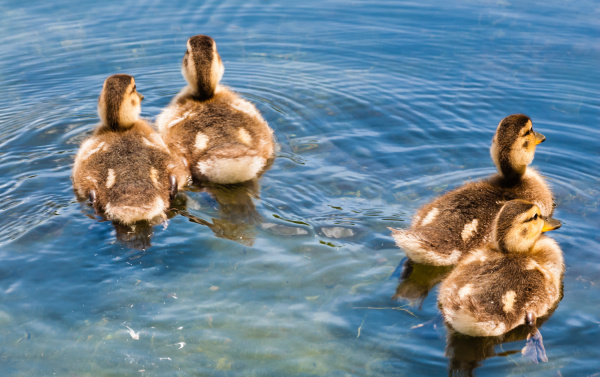 four cute ducklings swimming away