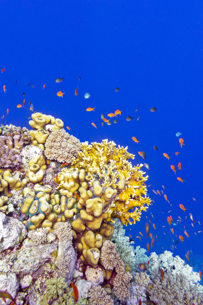 coral reef with fire corals and