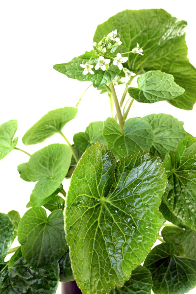 fresh wasabi leaves with flowers