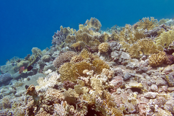 coral reef with fire corals at