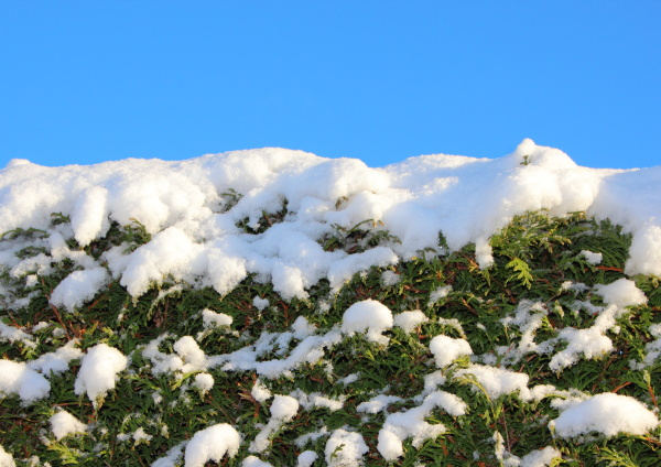top of snow covered bush with