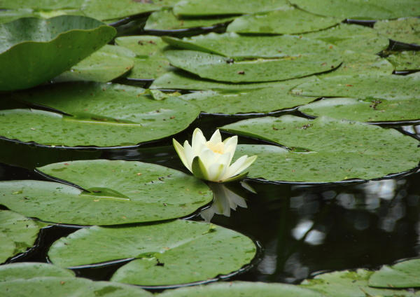 single centered white waterlily in lake
