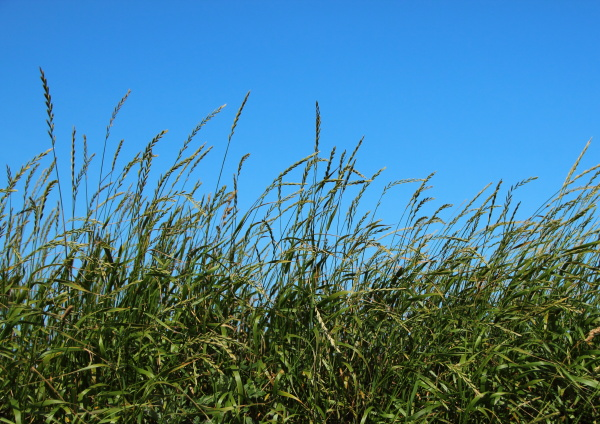 green straw field with blue sky