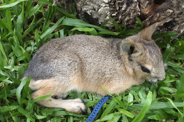 dolichotis patagonum patagonian mara little animal