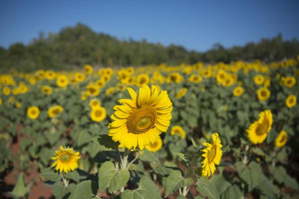 thailand kanchanaburi sunflower plantation