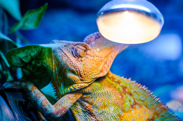 green chameleon in a terrarium