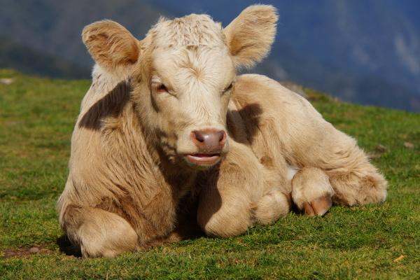 cattle on the paul da serra