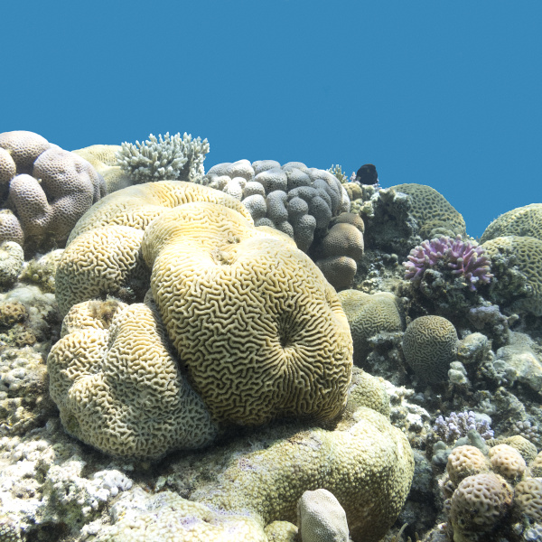 coral reef with brain coral in