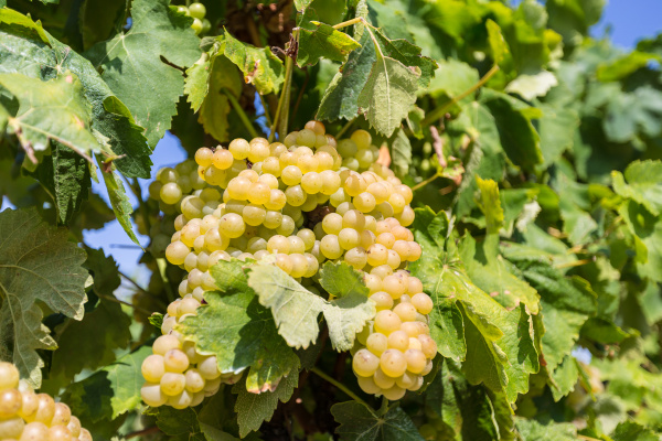vine, with, white, grapes - 16323419