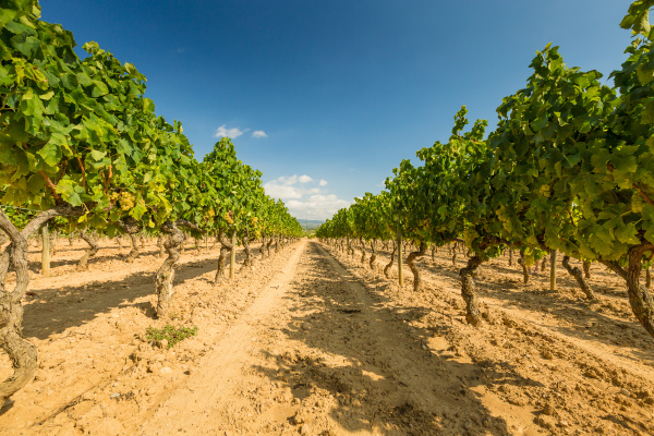 vineyards, with, harvest, of, white, grapes - 16323441