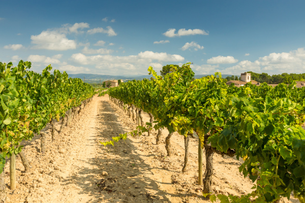 vineyards, with, harvest, of, white, grapes - 16323449