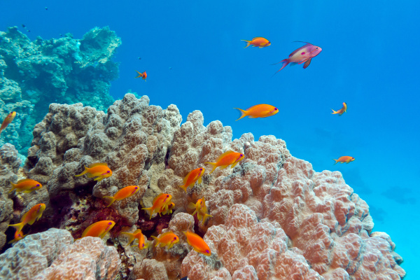 coral reef with porites coral and