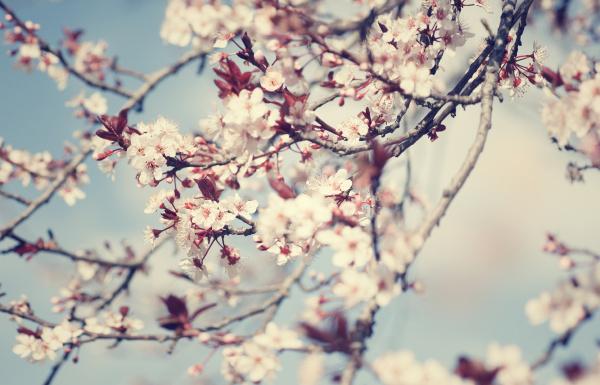 beautiful, cherry, tree, blossom - 16325893