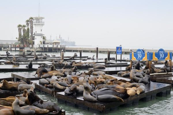 usa california san francisco sea lions
