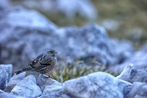 alpine accentor prunella collaris sitting on