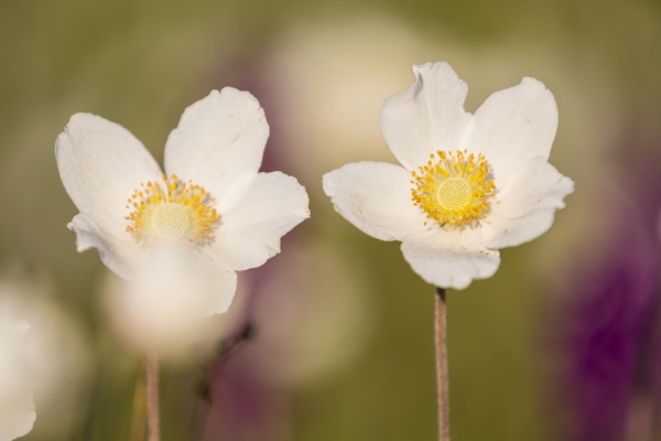 two blossoms of snowdrop anemones