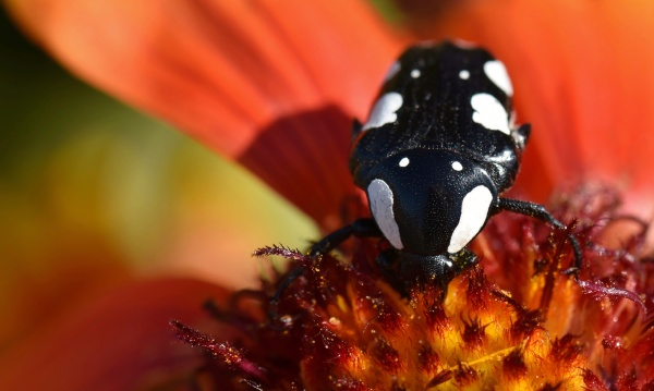 close up of fruit beetle on