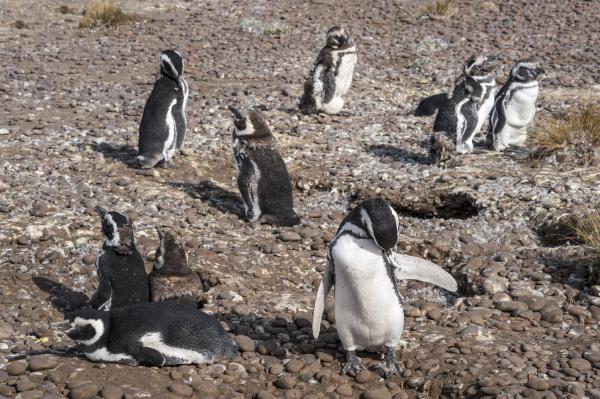 magellanic penguins at natural protected area