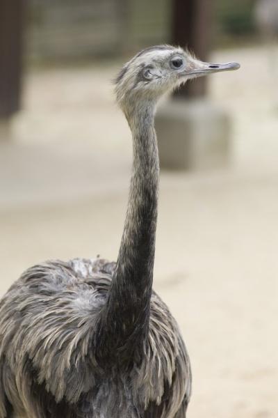 greater rhea rhea americana