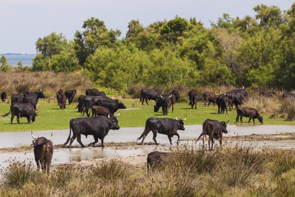 france provence camargue herd of bulls