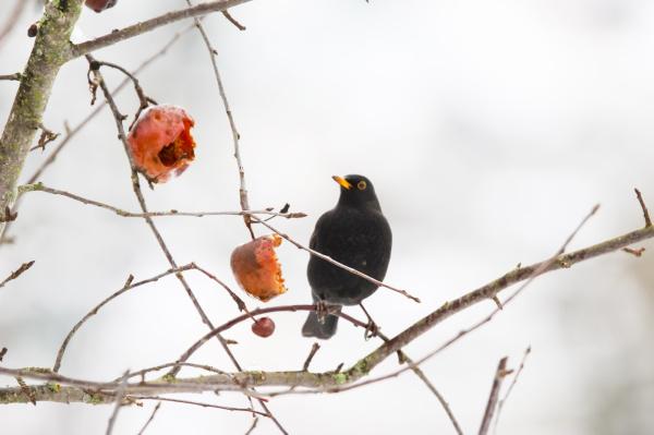 blackbird sitting on a twig in