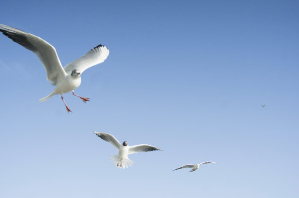 flying seagulls in front of blue