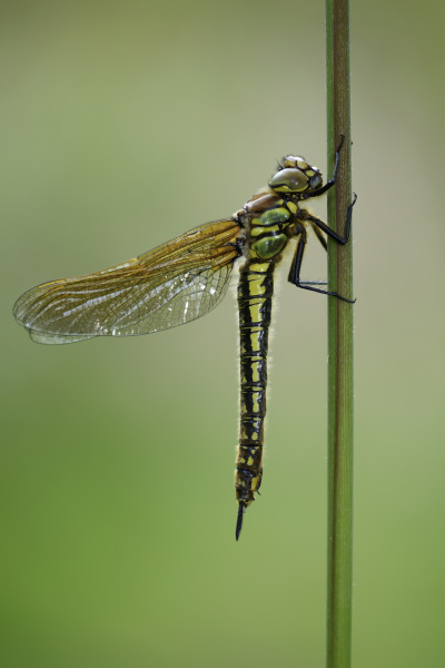 hairy dragonfly hanging on blade of
