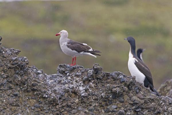 dolphin gull on a remote island