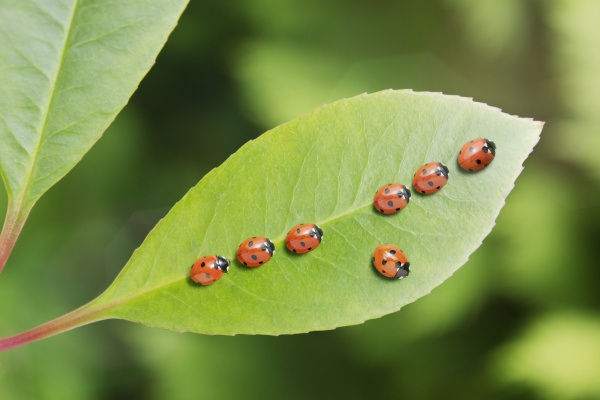 ladybug standing out from the crowd