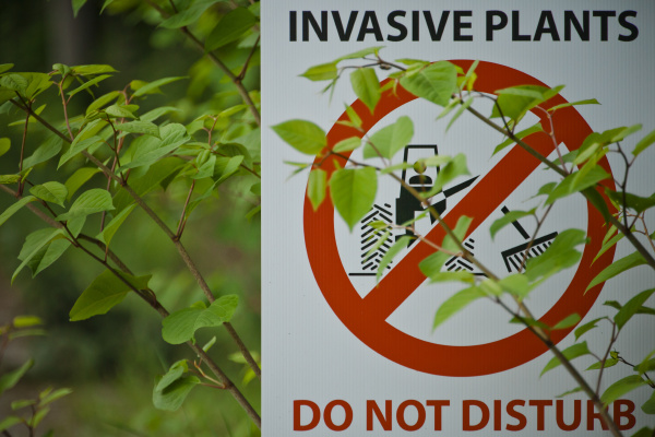 japanese knotweed partially covers an invasive
