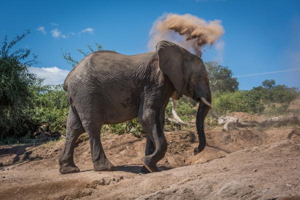 elephant throwing dust over head on