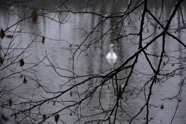 a white swan on a lake