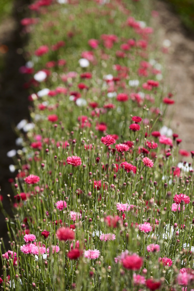 row of pink and white flowers