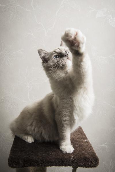 ragdoll cat sitting on scratching post