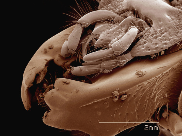 coloured sem of mouthparts of passalidae