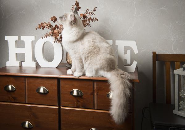 ragdoll cat sitting on sideboard